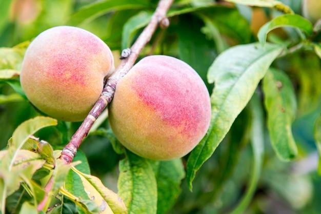 Zweig der pfirsichbaum. nahaufnahme des reifen fruchtpfirsichs