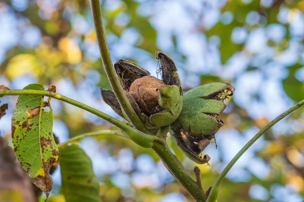 Zweig der reifen offenen walnüsse am baum im garten. wachsende walnüsse auf dem ast eines walnussbaums im obstgarten, nahaufnahme, ukraine