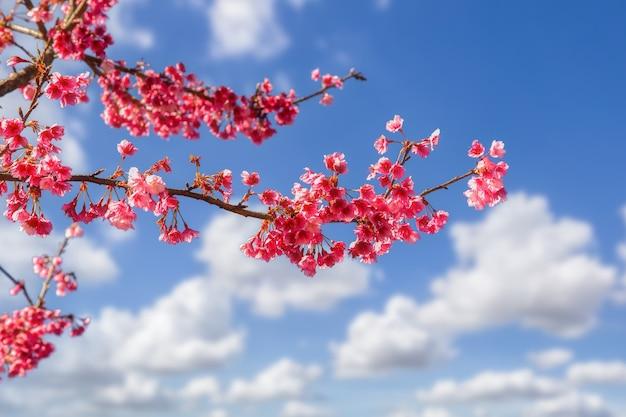 Zweig der rosa kirschblüte, sakura mit blauem himmelshintergrund für kopienraum.
