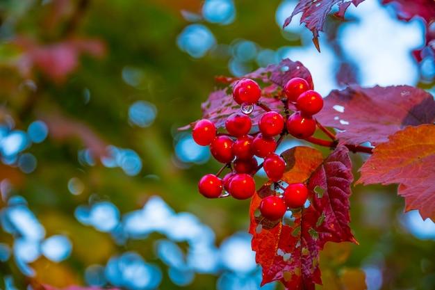 Zweig der roten schneeball im garten nach regen. rote beeren eines viburnum reifen auf einem busch in einem garten.