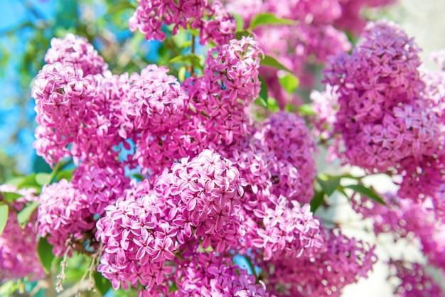 Zweig der schönen lila lila blüten im busch mit grünen blättern