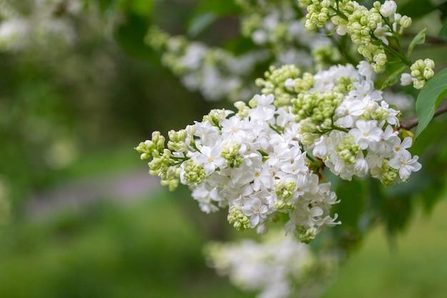 Zweig der weißen flieder auf grünem hintergrund. nahansicht