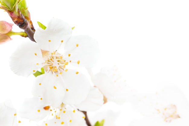 Zweig der weißen kirschblüten isoliert auf weißem hintergrund