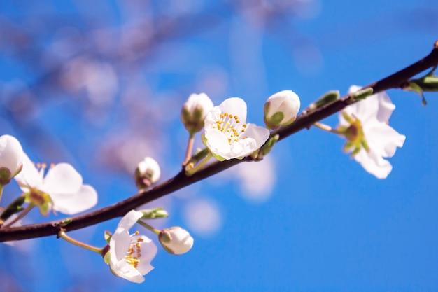 Zweig des blühenden obstbaumes gegen blauen himmel. frühling natur hintergrund.