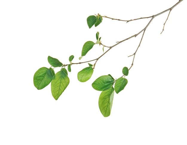 Zweig des frühlingsbaums mit grünen blättern