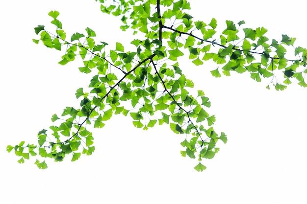 Zweig des ginkgobaums ginkgo biloba mit hellgrünen neuen blättern auf weißem hintergrund