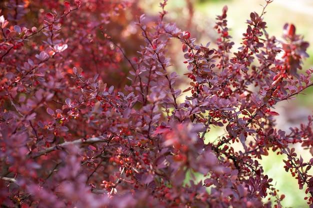 Zweig des herbstberberbusches mit roten blättern und beeren. natürliches grün der frischen reifen beeren des berberitzenzweigs