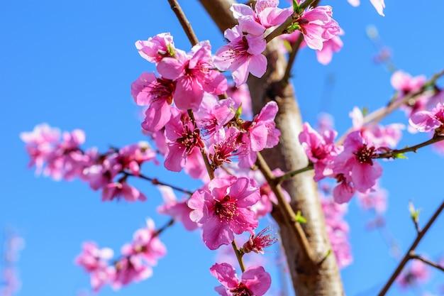 Zweig des pfirsichbaums mit rosa blüten im frühjahr.