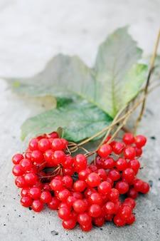 Zweig des reifen viburnums
