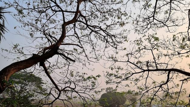 Zweig des samanea-saman-baumes morgens auf dem hintergrund der sonne steigt