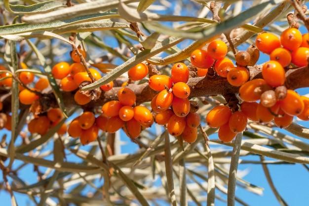 Zweig des sanddornbaums