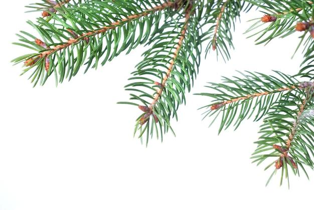 Zweig des weihnachtstannenbaums lokalisiert auf weiß