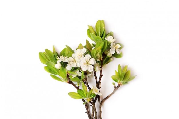 Zweig einer blühenden apfelbaumpflaumenbirne lokalisiert auf weiß