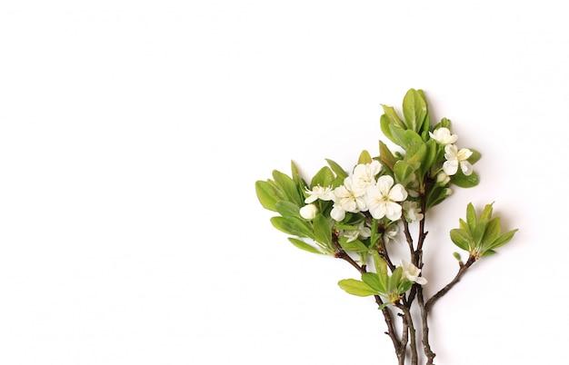 Zweig einer blühenden apfelbaumpflaumenbirne lokalisiert auf weißem hintergrund