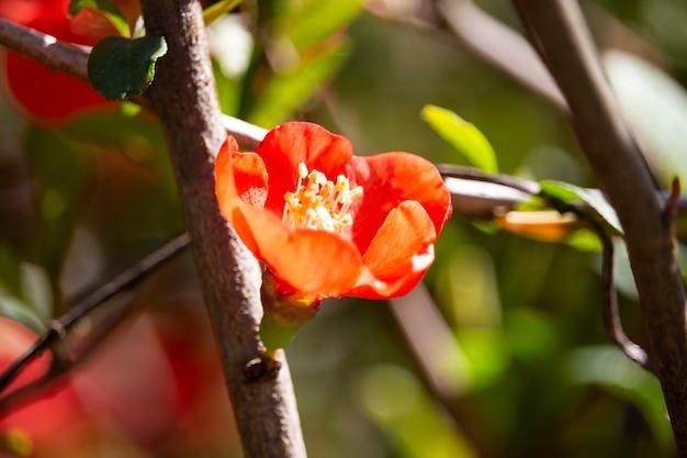 Zweig einer maules quitte (chaenomeles japonica) in voller blüte, nahaufnahme. rote blumen auf einem buschzweig