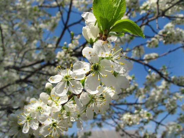 Zweig eines blühenden obstbaumes mit schönen weißen blumen