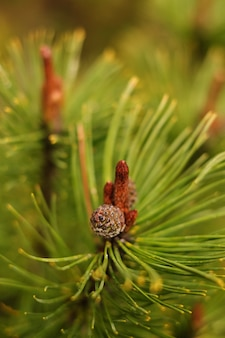 Zweig eines weihnachtsbaumes nach einem regen