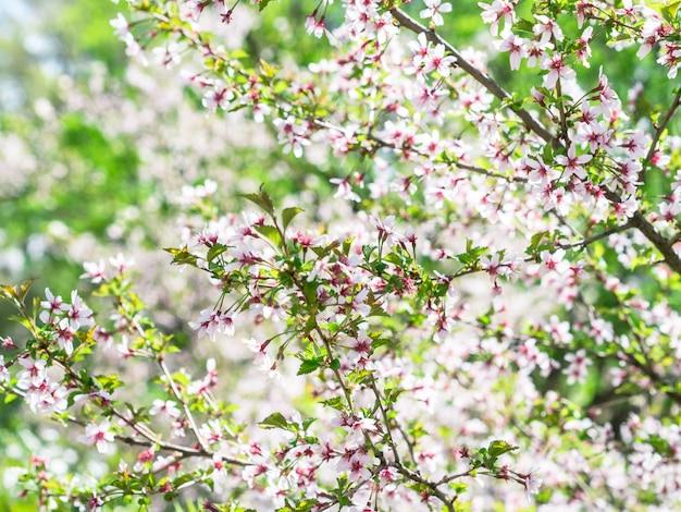 Zweig mit blüten sakura. reichlich blühende büsche mit rosa knospen kirschblüten