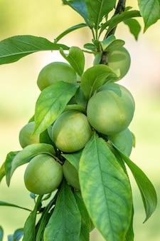 Zweig mit grünen pflaumen in einem garten, obst, natur
