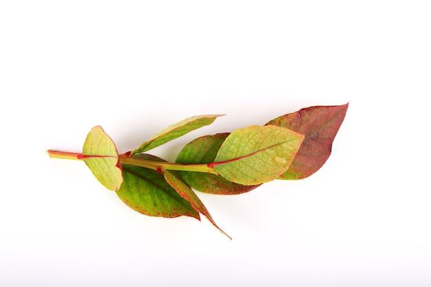 Zweig mit heidelbeerblättern auf weißem hintergrund