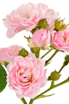 Zweig mit knospe blühenden rosenblüten isoliert auf weißem hintergrund
