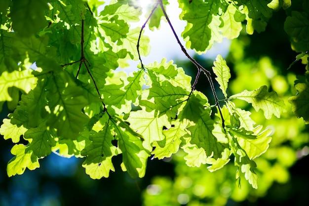 Zweig mit neuen grünen eichenblättern im sonnenlicht