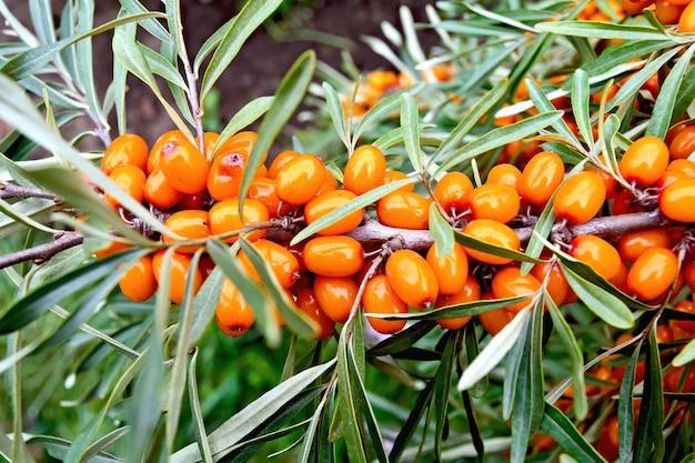 Zweig mit orangefarbenen sanddornbeeren auf einem hintergrund von grünen blättern
