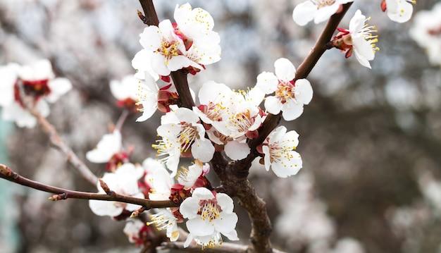 Zweig mit schönen frischen frühlings-aprikosenblumen auf baumnahaufnahme
