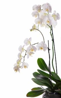 Zweig mit schönen tropischen orchideenblumen auf weißem hintergrund