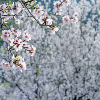 Zweig mit weißen mandelblüten über blühenden mandelbäumen
