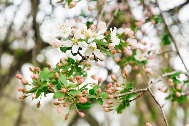 Zweig mit weißen rosa apfelblumen im frühlingsgarten. selektiver fokus. frühlingsblüte.