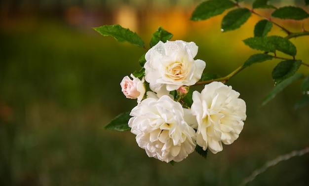 Zweig mit weißen rosen auf natürlichem grünem hintergrund.
