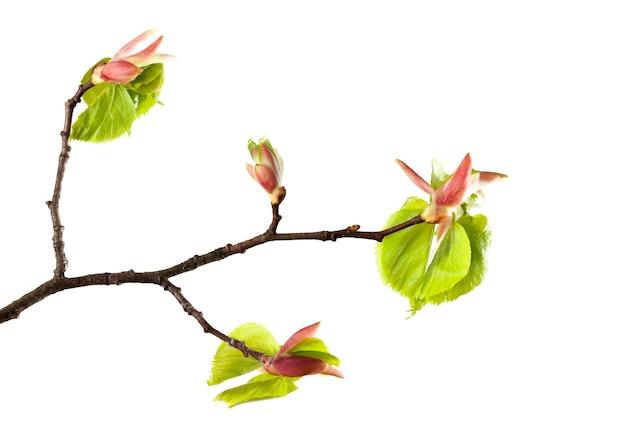 Zweig und ein paar grüne blätter blühen auf einer linde