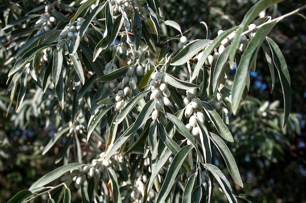 Zweig von elaeagnus angustifolia (allgemein als russische olive, silberbeere, oleaster, persische olive oder wilde olive bezeichnet)