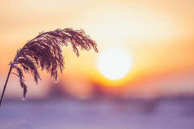 Zweig von schilfen auf dem hintergrund der sonne im winter