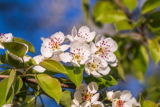 Zweig weißer blumen blüht auf einem birnbaum vor blauem himmel, nahaufnahme