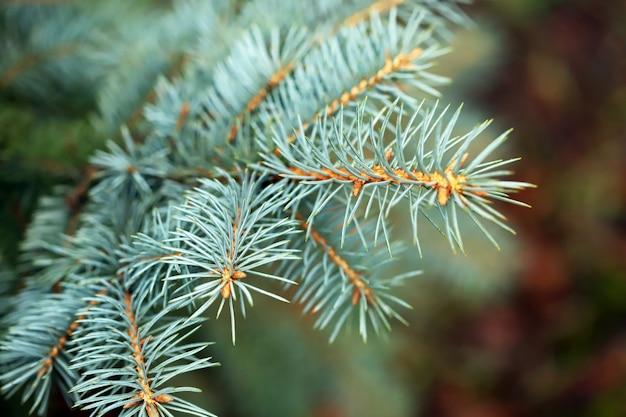 Zweige der blaufichte