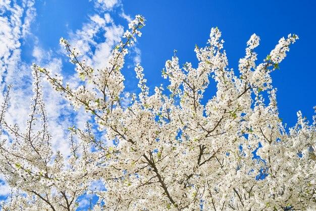 Zweige der blühenden kirsche gegen wand des blauen himmels. federwand.
