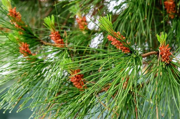 Zweige der feuchten kiefer nach frühlingsregen. natürliche pflanzen nach regen.
