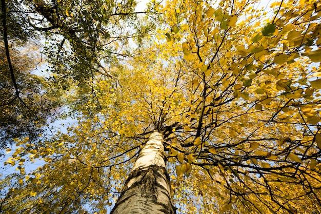 Zweige der jungen birke mit gelbem herbstlaub, das an einem baum hängt und vom sonnenlicht beleuchtet wird. die ansicht des baumes von unten sieht aus wie bestimmte zeichen der herbstsaison.