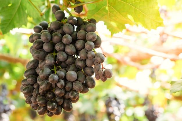 Zweige der rotweintrauben wachsen auf italienischen feldern. nahaufnahme von frischen rotweintrauben in italien. weinbergansicht mit großer roter traube wächst. reife trauben wachsen auf weinfeldern. natürliche weinrebe