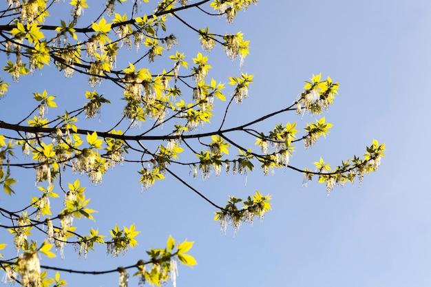 Zweige des ahorns