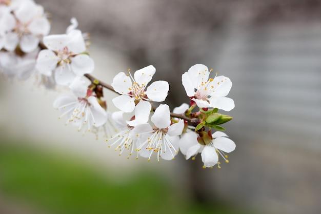 Zweige des blühenden baums im frühjahr. blühende aprikosen, sakura.