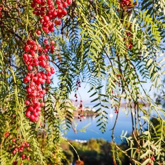 Zweige des brasilianischen pfeffers schinus terebinthifolius oder aroeira oder rose mit früchten auf einem hintergrund