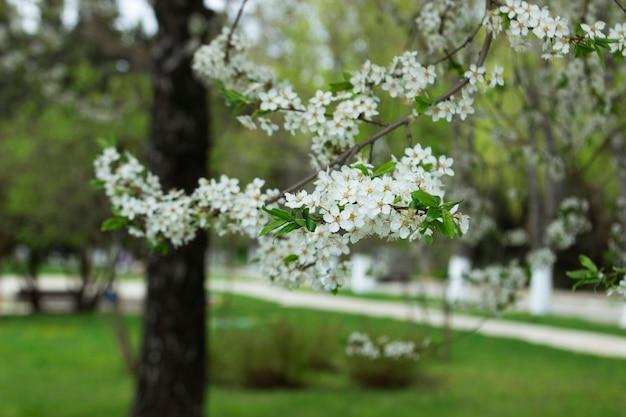 Zweige eines blühenden baumes gegen den himmel. kirschpflaumenblüten, frühlingsblüte, selektiver fokus.