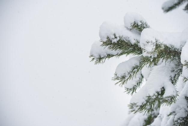 Zweige eines tannen-weihnachtsbaums im schnee im winterwald. weihnachtskonzept