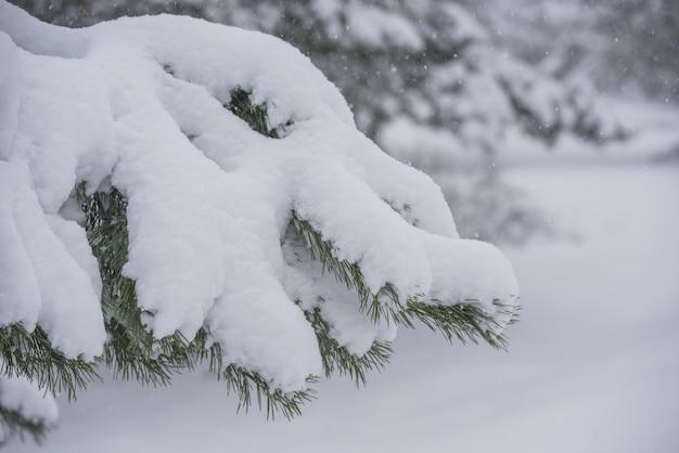 Zweige eines tannen-weihnachtsbaums im schnee im winterwald