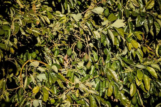 Zweige gefüllt mit hass avocados von rauer haut in einer plantage.