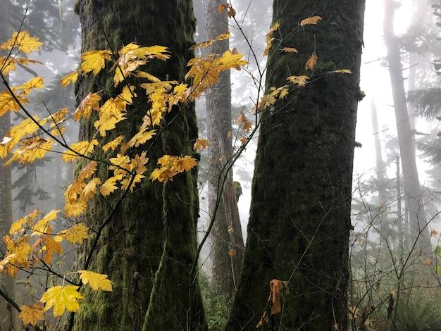Zweige mit gelben blättern, umgeben von bäumen in oregon, usa
