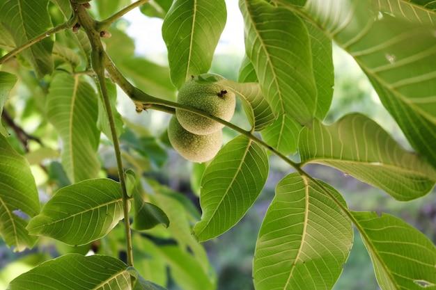 Zweige nahrhafter hintergrund intakte frucht